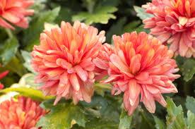 flowers in november november birth flower chrysanthemums jblooms