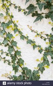 ivy leaves on wall stock photos u0026 ivy leaves on wall stock images