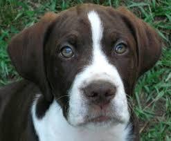 boxer dog utah white labrador puppies utah u2013 dogs our friends photo blog