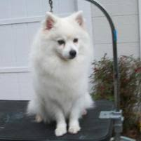 american eskimo dog new mexico california eskies