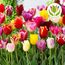 Long Stem Flowers Gardenersdream Preorder Tulip Tall Mixed Triumph Long Stem Bed