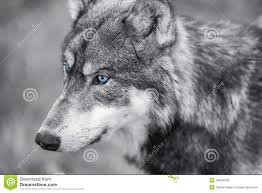 gray wolf with blue stock image image of