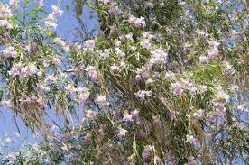 this is how you need to care for a desert willow tree