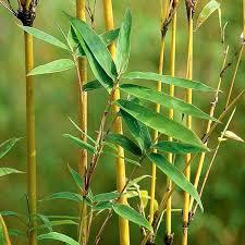 golden bamboo ornamental shrubs exoticflora
