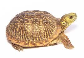 ornate box turtle for sale reptiles for sale