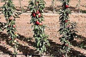 ballerina fruit trees and other dwarf pillars a selection of