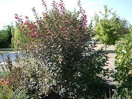 purple leaf sand cherry care how and when to prune plum leaf
