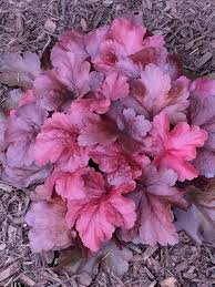 coral bells plant care and collection of varieties garden org