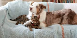 cat with australian shepherd vca inc