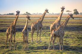 how giraffe necks stretched to new heights d brief