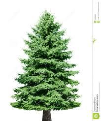 pine tree stock image image of green contour pine 10688089