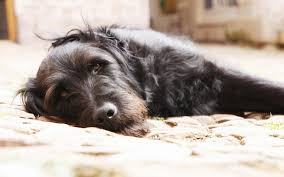 Temporary Blindness In Dogs Deafness And Hearing Loss In Dogs
