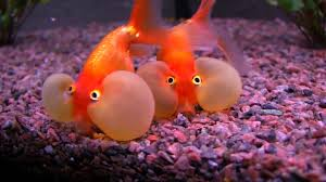 bubble eye goldfish youtube