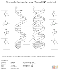 Mitosis Worksheets Rna And Dna Worksheet Coloring Page Free Printable Coloring Pages