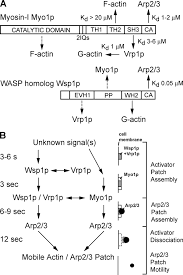 interactions of wasp myosin i and verprolin with arp2 3 complex