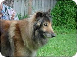adopt a belgian sheepdog misty adopted dog 1343 gardena ca collie belgian tervuren