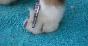 australian shepherd undercoat rake trim the long hair on the top of the foot aussie grooming