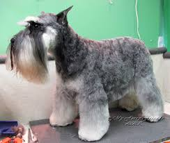 schnauzer hair cut step by step pet grooming the good the bad the furry different looks of a