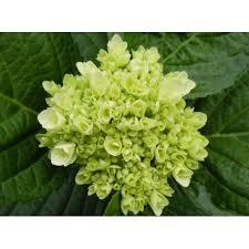 hydrangea white mini green hydrangeas in bulk