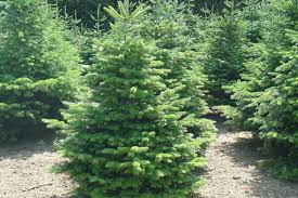 christmas trees for sale in fife fife christmas trees
