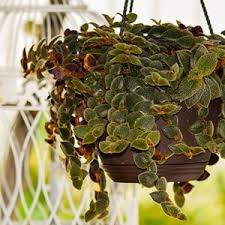 Indoor Vine Plants Exotic Angel Costa Farms