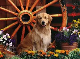 golden retriever wallpapers hd download