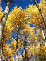 colorado fall colors why does color intensity vary from year to year