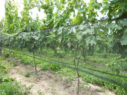 update from long point u0027s vineyards cuvec club news