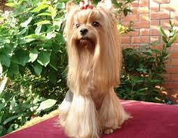 haircuts for yorkie dogs females yorkie haircuts 100 yorkshire terrier hairstyles pictures