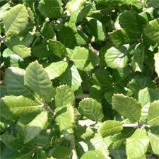 quercus varieties oak trees for sale ornamental trees ltd