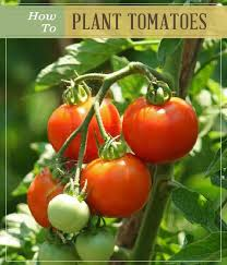 25 unique how to plant tomatoes ideas on pinterest growing