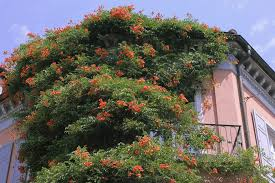 how to prune trumpet vines ehow