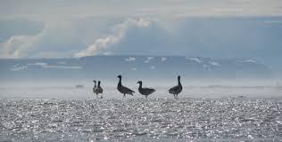 Teh Yakon surges in the yukon kuskokwim delta frontier scientists