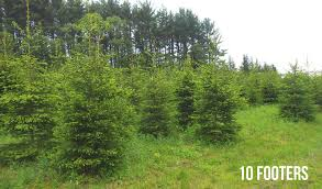 spruce trees for sale lucas landscaping turf farm