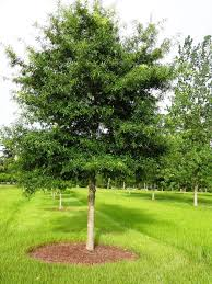 willow oak for sale wholesale lowest prices guaranteed