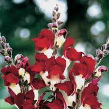 snapdragon flowers and day snapdragon seeds from park seed