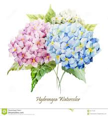 hydrangea bouquet hydrangea bouquet stock vector image 50177593