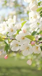 Spring Flower Pictures Best 25 Apple Blossoms Ideas On Pinterest Blossoms Spring