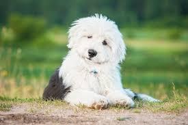 belgian sheepdog price australian shepherd puppies breed information u0026 puppies for sale