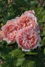 Most Fragrant Plants 10 Roses We Love Sa Garden And Home