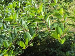 frangula californica wikipedia clerodendron inerme shrubs pinterest shrub