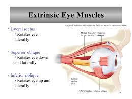 The Anatomy And Physiology Of The Eye What Are The 6 Extrinsic Muscles Of The Eye And Their Functions