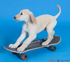 afghan hound least intelligent afghan hound bohm marrazzo