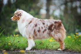 australian shepherd and beagle mix australian shepherd dogs and puppies for sale in the uk pets4homes