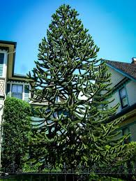 evergreen privacy trees for sale the tree center