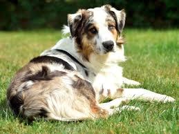 australian shepherd dog search locally for miniature australian shepherd puppies and dogs