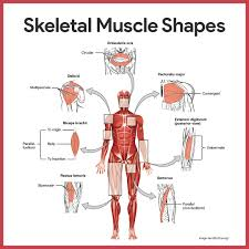 microscopic anatomy of skeletal muscle answers images learn