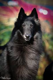 belgian sheepdog art 631 best belgians images on pinterest belgian shepherd animals