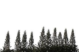 fresh pine trees isolated on white background domain free