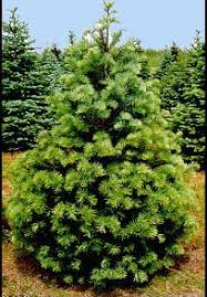 mail order vermont christmas trees learn the tree types then order